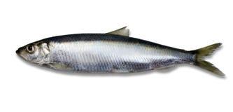 查出的鲱鱼 免版税库存图片