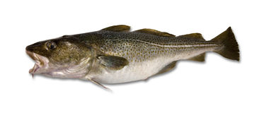 查出的鳕鱼 免版税图库摄影
