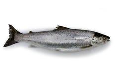 查出的鳟鱼 库存图片