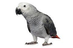 查出的鹦鹉白色 免版税库存照片
