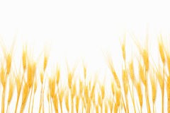 查出的麦子白色 免版税库存图片
