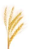 查出的麦子白色 库存图片