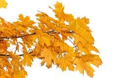 查出的黄色槭树叶子 免版税库存照片