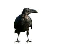 查出的黑色乌鸦 库存照片