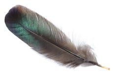 查出的黑色羽毛 免版税库存图片