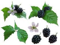 查出的黑莓 免版税库存照片