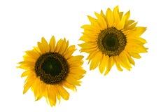 查出的齿轮类似于空白的向日葵 库存图片