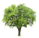 查出的结构树 免版税库存照片