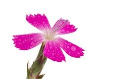 查出的紫色花 免版税库存图片