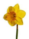 黄水仙查出的黄色 库存图片