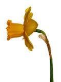 黄水仙查出的黄色 免版税库存图片