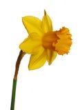 黄水仙查出的黄色 免版税图库摄影