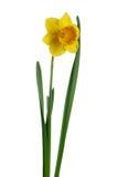 黄水仙查出的黄色 库存照片