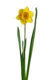 黄水仙查出的黄色 图库摄影
