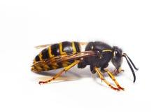 查出的黄蜂白色 免版税库存图片