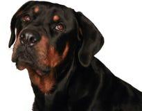 查出的rottweiler 免版税图库摄影