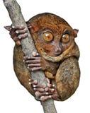 查出的tarsier 免版税图库摄影