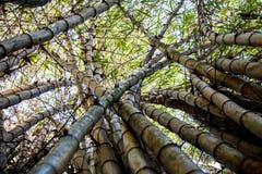 查寻一些竹树干 库存图片