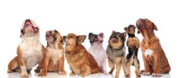 查寻七条逗人喜爱的狗队气喘和 免版税库存照片
