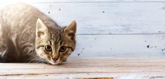 查寻与开敞眼睛的灰色猫 库存图片