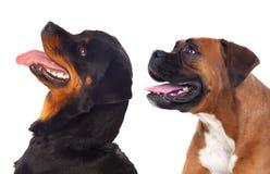 查寻两条大的狗外形  免版税库存照片