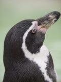 查寻企鹅 免版税库存图片