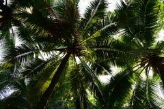 查寻可可椰子树作为背景 免版税库存照片