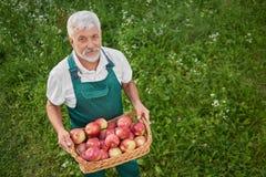 查寻和拿着篮子用苹果的绿色总体的花匠 库存照片