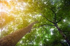 查寻在与阳光的树下在热带雨林里 免版税库存照片