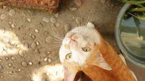 查寻在庭院的逗人喜爱的姜猫 免版税库存图片
