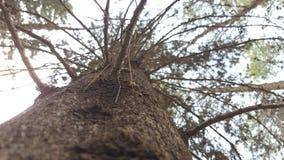 查寻在杉树树干附近 免版税库存照片