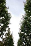 查寻在杏树之间两行的天空在一个果树园在新西兰 免版税图库摄影