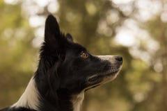 查寻在森林的博德牧羊犬 图库摄影