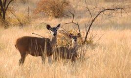 查寻妈咪和小的鹿 库存图片