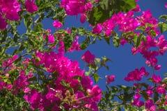 查寻对紫色九重葛蓝天和群 免版税库存图片