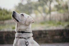 查寻有被弄脏的背景的好奇白色拉布拉多狗 免版税图库摄影