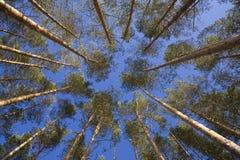 查寻杉木射击结构树的机盖 免版税库存照片