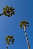 查寻棕榈树 图库摄影