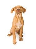 查寻混杂的小狗的品种 库存图片