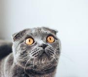 查寻灰色scottishfold的猫坐床和,从窗口的太阳 免版税库存图片
