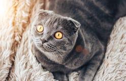 查寻灰色scottishfold的猫坐床和,从窗口的太阳 免版税库存照片