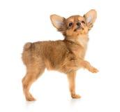 查寻的小狗 免版税库存图片