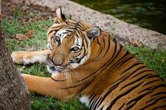 查寻老虎的孟加拉 免版税库存照片