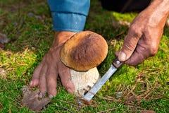 查寻蘑菇在森林 蘑菇捡取器,采蘑菇 一个年长人切与刀子的一个白色蘑菇 人手 免版税库存图片