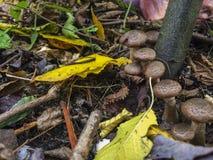 查寻蘑菇在森林 蜂蜜伞菌蘑菇在秋天森林小组的一棵树增长狂放的蘑菇 免版税图库摄影