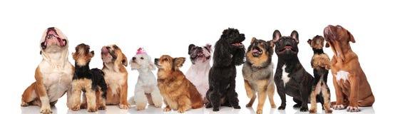 查寻许多好奇的狗队气喘和 库存照片