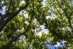 查寻通过高大的树木上面的背景对蓝色多云天空 库存图片
