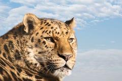 查寻阿穆尔河的豹子 图库摄影