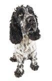 查寻黑白英国的猎犬 图库摄影