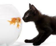 查寻黑色接近的金鱼的小猫 图库摄影